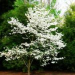 plant flowering dogwood fall if in connecticut